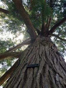 alberton-tall-tree