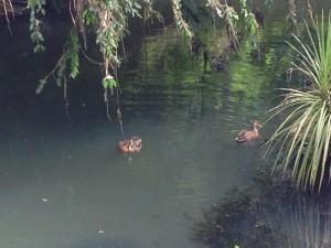 oakley-ducks