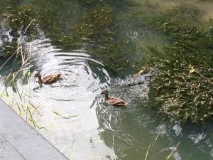 oakley-waterfall-ducks