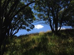 owairaka-trees-2